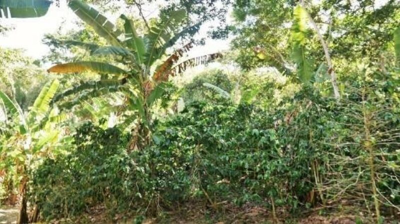 Coffee Farm Ceara Brazil